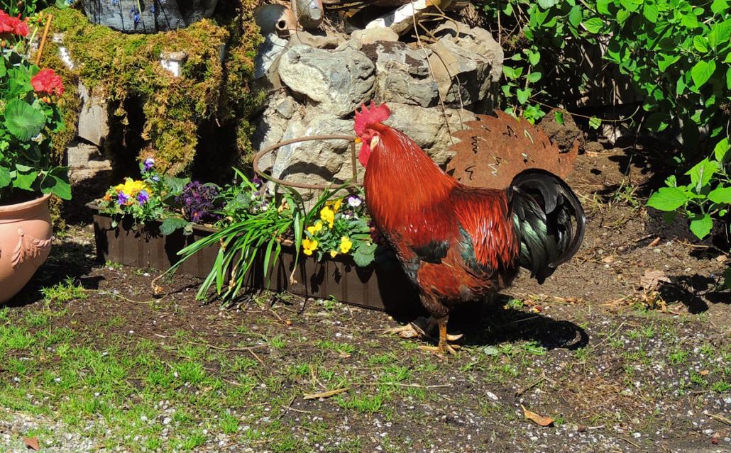 Wo Hühner sind, ist auch ein Hahn