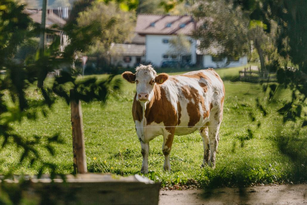 Und die Kuh schaut zu …