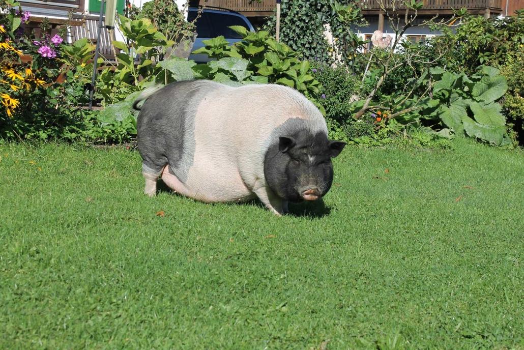 Unser Hausschwein Martha